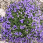 Istrian bellflower - a decoration of Plomin